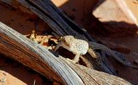 Spotted Lizard_0226