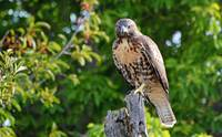 Red Tailed Hawk - 01