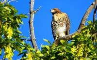Red Tailed Hawk - 02