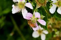Honey Bee Collecting from a Blackberry Flower