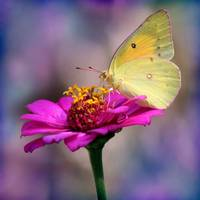 Orange Sulphur Butterfly Macro Square