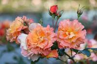 Wonderful Roses by Carol Groenen