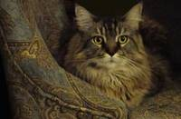 Maine Coon on Dad's Chair