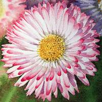English Daisy Flower