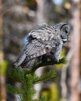 Great Grey Owl_3038