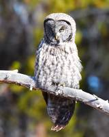 Great Grey Owl_3020