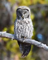 Great Grey Owl_3022