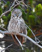 Great Grey Owl_3004