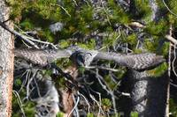 Great Grey Owl_2302