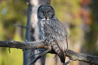 Great Grey Owl_2395