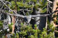 Great Grey Owl_2304