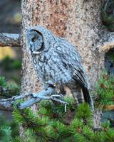 Great Grey Owl_1956