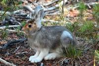 Snow Shoe Hare_3354