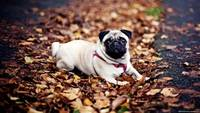 Adorable Pug Rest On The Autumn Foliage