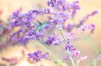 Lavender Hummingbird Dream
