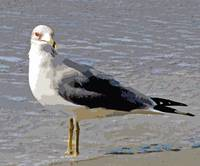 Red-eyed Gull