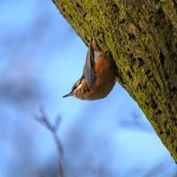 Bird Nuthatch