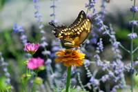 Giant Swallowtail Butterfly on Yellow Zinnia