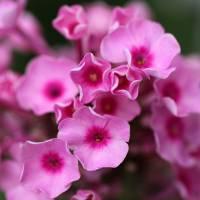 Pink Garden Phlox Square by Karen Adams