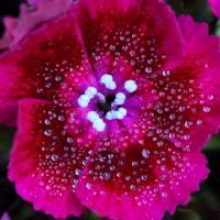 Ruby Red Sweet William Square by Karen Adams