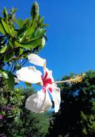 Beautiful white hibiscus in italy two
