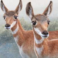 sibling fawn pronghorns by r christopher vest