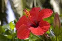 tropical  flowers(Hibiscus)