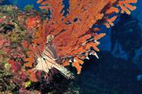 Lionfish, Red Gorgonean & Divers