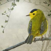 """early spring wilsons warbler"" by rchristophervest"