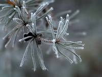 Frosted Needles