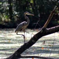 Great Blue Heron in Wetlands by Karen Adams