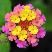 Lantana Blossom by Karen Adams
