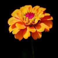Yellow Zinnia Sunshine by Karen Adams