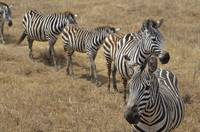Zebras Line Up in Tanzania