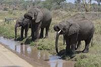Family of Elephants Drinking in Tanzania