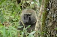 Baboon in Tanzania Jungle