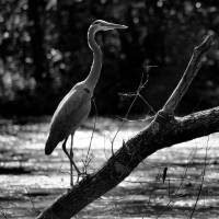 Great Blue Heron Black and White by Karen Adams