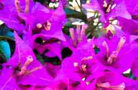 Bougainvillea flowers in Italy two