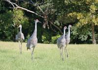 Family of Four Sandhill Cranes