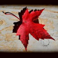 Red Maple Leaf with Black Border by Karen Adams