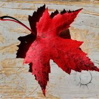 Red Maple Leaf by Karen Adams