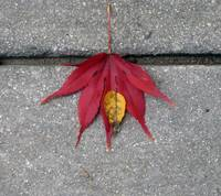Red Leaf on Ground