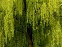 Enchanting Weeping Willow Tree