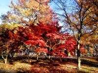 Bright Red Autumn Tree