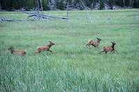 4 elk calves running grass
