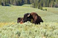 Yellowstone Bison sleeping in sage