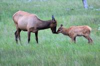 Elk Cow and calf nuzzle Montana