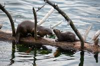 River Otter Mom and Baby on Log