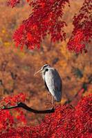 Gray Heron In Red Trees