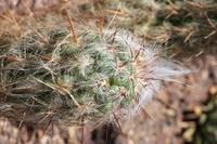 Hairy Cactus by Carol Groenen